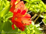 Alstroemeria  Red Valley