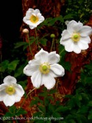 Today's Staff favorite plant: Anemone x hybrida 'Andrea Atkinson'.