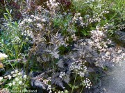 <i>Anthriscus sylvestris</i> &#8216;Ravenswing&#8217;