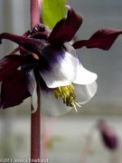 <i>Aquilegia vulgaris</i> &#8216;William Guiness&#8217;
