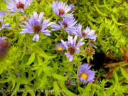 <i>Aster oblongifolius</i> 'October Skies'