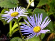 Aster turbinellus : Michaelmas Daisy : Grows on You