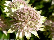 <i>Astrantia major</i> 'Buckland'