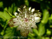 <i>Astrantia major</i> 'Canneman'