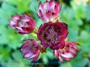 <i>Astrantia major</i> 'Moulin Rouge'