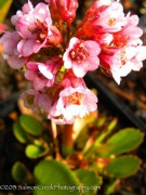 <i>Bergenia</i> 'Magic Giant'