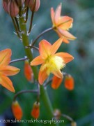 <i>Bulbine frutescens</i>