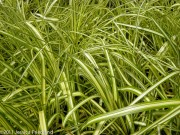 <i>Carex oshimensis</i> 'Gold Strike'