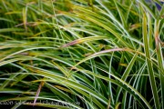 <i>Carex morrowii</i> 'Ice Dance'