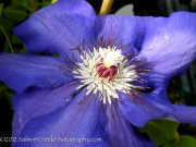 <i>Clematis</i> 'Danielle'