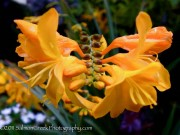 <i>Crocosmia</i> &#8216;Walberton Yellow&#8217;
