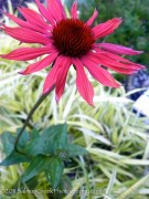 Echinacea Big Sky™ Sundown