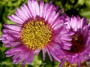 <i>Erigeron glaucus</i> 'Sea Breeze'