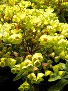 Euphorbia characias Red Wing
