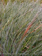 <i>Festuca idahoensis</i> &#8216;Stony Creek&#8217;
