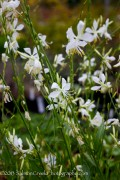 <i>Gaura lindheimeri</i> 'So White'
