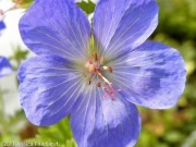 <i>Geranium</i> 'Johnson's Blue'