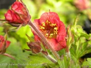 <i>Geum</i> x &#8216;Flames of Passion&#8217;