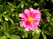 Helianthemum Belgravia Rose