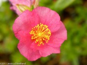 <i>Helianthemum</i> &#8216;Dazzler&#8217;