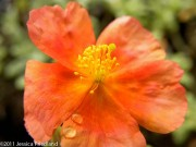 <i>Helianthemum</i> &#8216;Fire Dragon&#8217;