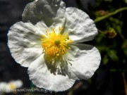 <i>Helianthemum</i> &#8216;St. Mary&#039;s&#8217;