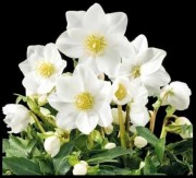 "Our featured plant: Helleborus niger 'HGC Jonas'In a pinch for a last minute """"green"""" gift?Consider an emailable Gift Certificate from Digging Dog Nursery.