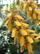 <i>Isoplexis canariensis</i>