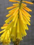 Kniphofia uvaria Candle Light