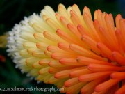 <i>Kniphofia</i> &#8216;Lye End&#8217;