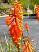 Kniphofia  Nancy's Red