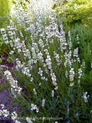 Lavandula intermedia White Spikes