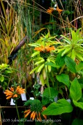 <i>Leonotis menthifolia</i> &#8216;Savannah Sunset&#8217;