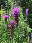 "Our favorite plant this week - Not only do we love Liatris 'Kobold', but it's coveted by florists, butterflies & bees for itsl showy, vibrant hued flowers. 'Kobold' means ""goblin""—and big-headed it is. This compact cultivar has a smaller stature than others of its species, and its erect stems rise solidly from the earth. Grassy foliage plays host to an outstanding bristle of rosy lilac blooms. A vibrant garden guest, contrast 'Kobold' against Phlomis fruticosa's yellow blooms and harmonize with the pinkish panicles of Calamagrostis brachytricha."