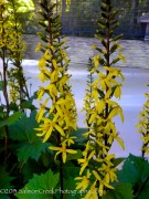 <i>Ligularia stenocephala</i> 'The Rocket'