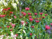 <i>Monarda didyma</i> &#8216;Jacob Cline&#8217;
