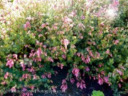 <i>Origanum</i> 'Bristol Cross'