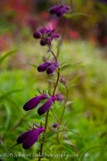 <i>Penstemon</i> x <i>mexicali</i> 'Pike's Peak Purple'