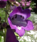 <i>Penstemon</i> 'Stapleford Gem'