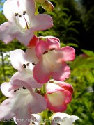 <i>Penstemon</i> 'Thorn'