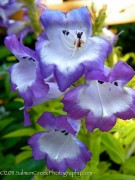 Penstemon  Violet Kissed