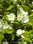<i>Philadelphus</i> 'Innocence'