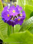<i>Primula denticulata</i> 'Blue Selection'
