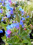 <i>Pulmonaria</i> 'Benediction'