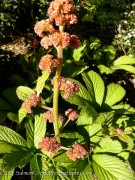 <i>Rodgersia aesculifolia</i>