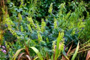 <i>Salvia mexicana</i> &#8216;Limelight&#8217;