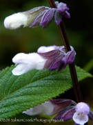 <i>Salvia</i> 'Waverly'