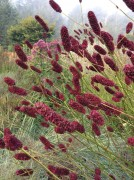 Our featured plant: Sanguisorba officinalis August All-Stars, rejuvenate your garden, long & late bloomers!