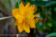 <i>Trollius chinensis</i> 'Golden Queen'