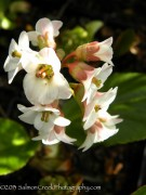 Bergenia 'Magic Giant'